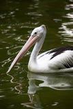 Uccello: Un pellicano Immagini Stock