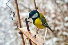 Uccello un titmouse blu Immagine Stock Libera da Diritti