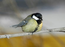 Uccello un titmouse blu che si siede su una filiale Fotografie Stock