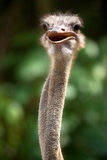 Uccello: Uno struzzo (Camelus dello Struthio) Fotografia Stock Libera da Diritti