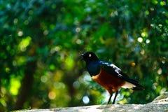 Uccello variegato con il becco aperto fotografie stock