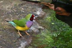Uccello variopinto Fotografie Stock