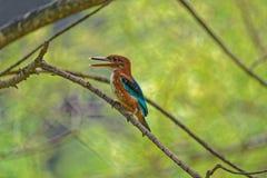 Uccello variopinto che si siede su un ramo Fotografia Stock Libera da Diritti