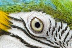 Uccello variopinto del pappagallo, blu e ara dell'oro fotografia stock