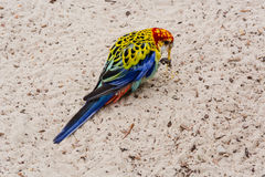 Uccello variopinto del pappagallo di Rosella con la testa di rosso Immagini Stock Libere da Diritti