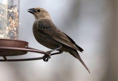 Uccello variopinto marrone splendido che mangia i semi da un alimentatore del seme dell'uccello durante l'estate nel Michigan fotografie stock