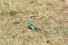 Uccello variopinto nel Kenya Fotografia Stock Libera da Diritti