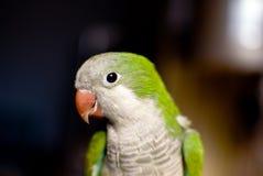 Uccello verde del pappagallo Fotografia Stock Libera da Diritti