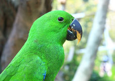 Uccello verde del pappagallo Fotografie Stock