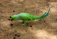 Uccello verde del pappagallo Immagini Stock Libere da Diritti