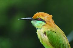 Uccello verde di bee-eater dalla Tailandia Fotografia Stock