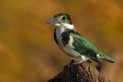 Uccello verde e bianco che si siede sul ramo, uccello nell'habitat della natura, negativo per la stampa di cartamoneta di Baranco Fotografia Stock Libera da Diritti