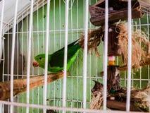 Uccello verde ingabbiato Fotografia Stock