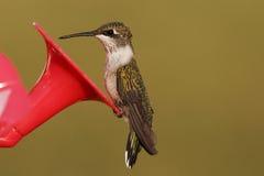 Uccello vermiglio di ronzio della gola Immagine Stock