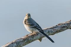 Uccello - vi vedo per accoppiarmi Fotografia Stock