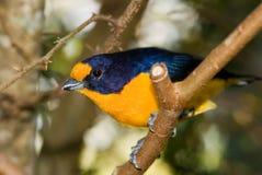 Uccello viola di Euphonia Immagini Stock