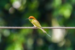 Uccello vivo del mangiatore di ape Fotografie Stock Libere da Diritti