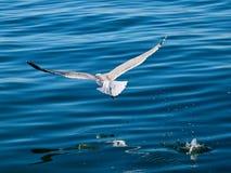 Uccello volante del gabbiano sopra acqua blu fotografia stock libera da diritti