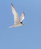 Uccello in volo immagini stock