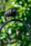 Uccello vulgaris del giardino di Starling Sturnus appollaiato sull'alimentatore urbano della fauna selvatica immagini stock libere da diritti