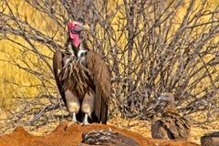 Uccisione dell'avvoltoio affrontata mussolina Fotografia Stock