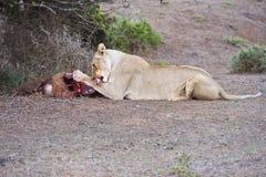 Uccisione di Warthog Immagini Stock Libere da Diritti