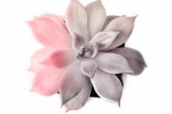 Ucculent που απομονώνεται στο άσπρο υπόβαθρο, που βάφεται ρόδινος και γκρίζος Έννοια σχεδίου, τυπωμένη ύλη για την τυπωμένη ύλη,  στοκ εικόνες με δικαίωμα ελεύθερης χρήσης