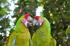 Uces par de grandes Macaws verdes Imagen de archivo
