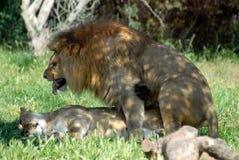 Uces par de leones de la cría Imagen de archivo