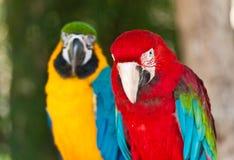 Uces par de macaws Imagen de archivo