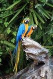 Uces par de macaws azules en un tocón de árbol Fotografía de archivo libre de regalías