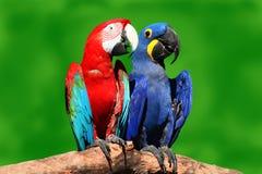 Uces par de macaws hermosos Imágenes de archivo libres de regalías