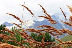 Ucho żółty trawy dorośnięcie na łące Obraz Stock