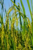 Ucho irlandczyków ryż Obrazy Royalty Free