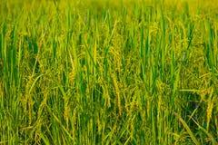Ucho irlandczyków ryż Obraz Royalty Free
