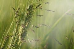 Ucho kukurudza i rośliny Obraz Stock