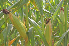 Ucho kukurudza na kukurydzanych badylach Zdjęcia Stock