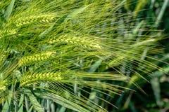 Ucho kukurudza w polu, nie mimo to przygotowywający dla żniwa obraz stock