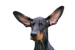 ucho śmieszni Obraz Royalty Free