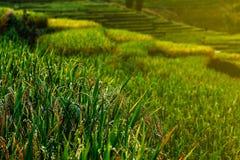Ucho ryż, Tajlandia zdjęcia stock