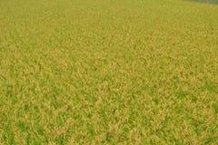 Ucho ryż Obrazy Royalty Free