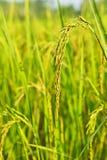 Ucho ryżowy irlandczyk Zdjęcia Stock