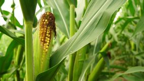 Ucho Słodkiej kukurudzy Rolnego pola żniwa Dojrzała świeża żywność zbiory