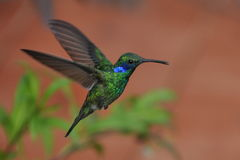 ucho zielony hummingbird fiołek Zdjęcia Stock