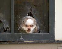 ucieczka szczeniaka ekranu Shih tzu Fotografia Royalty Free