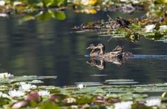 Ucks dopłynięcie w jeziorze. fotografia royalty free