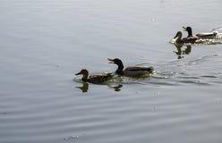 Ucks en el lago, en la primavera Foto de archivo