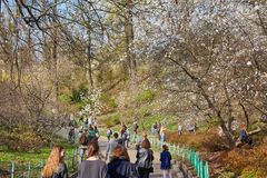 Ucrânia, Kiev - 5 de abril de 2017: Magnólias de florescência no jardim botânico imagem de stock royalty free