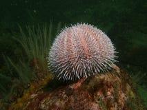 Ucrhin do mar (lividus de Paracentrotus) Imagens de Stock