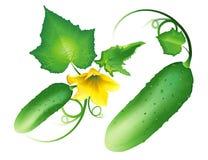 Ucumber de ¡ de Ð illustration de vecteur